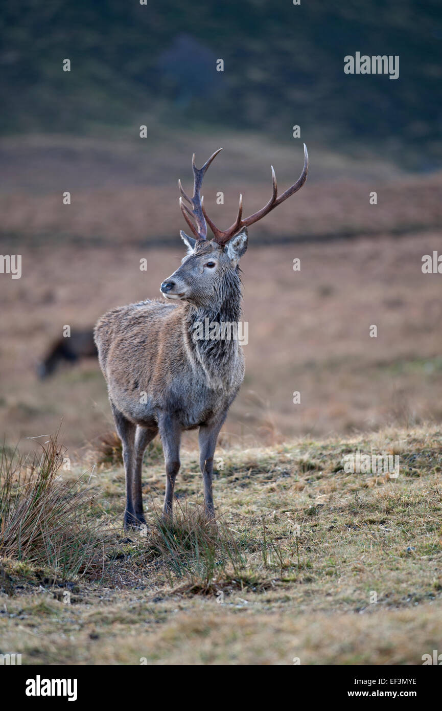 Red deer sex