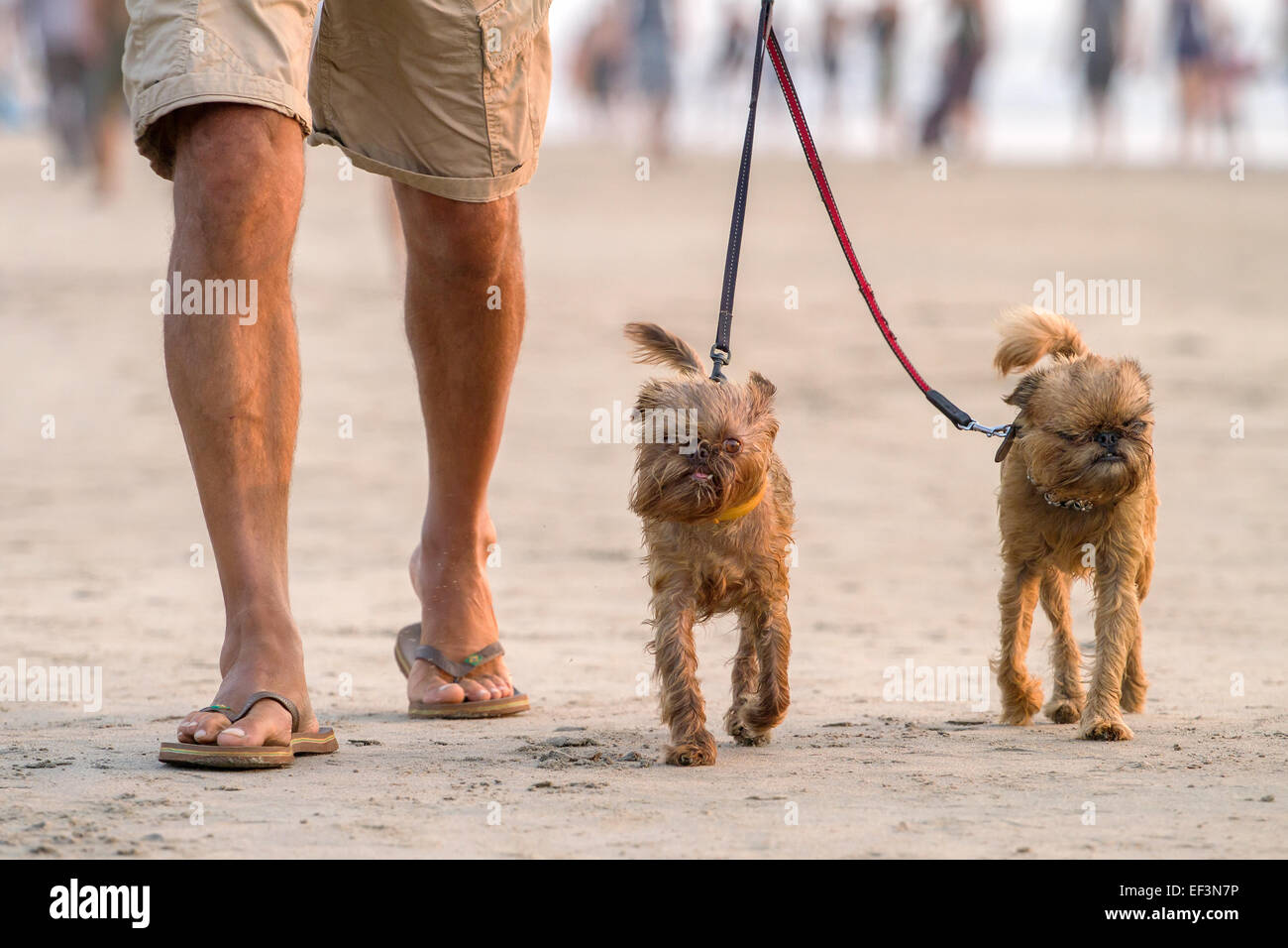 Man walking on the beach with two funny small dogs - Stock Image