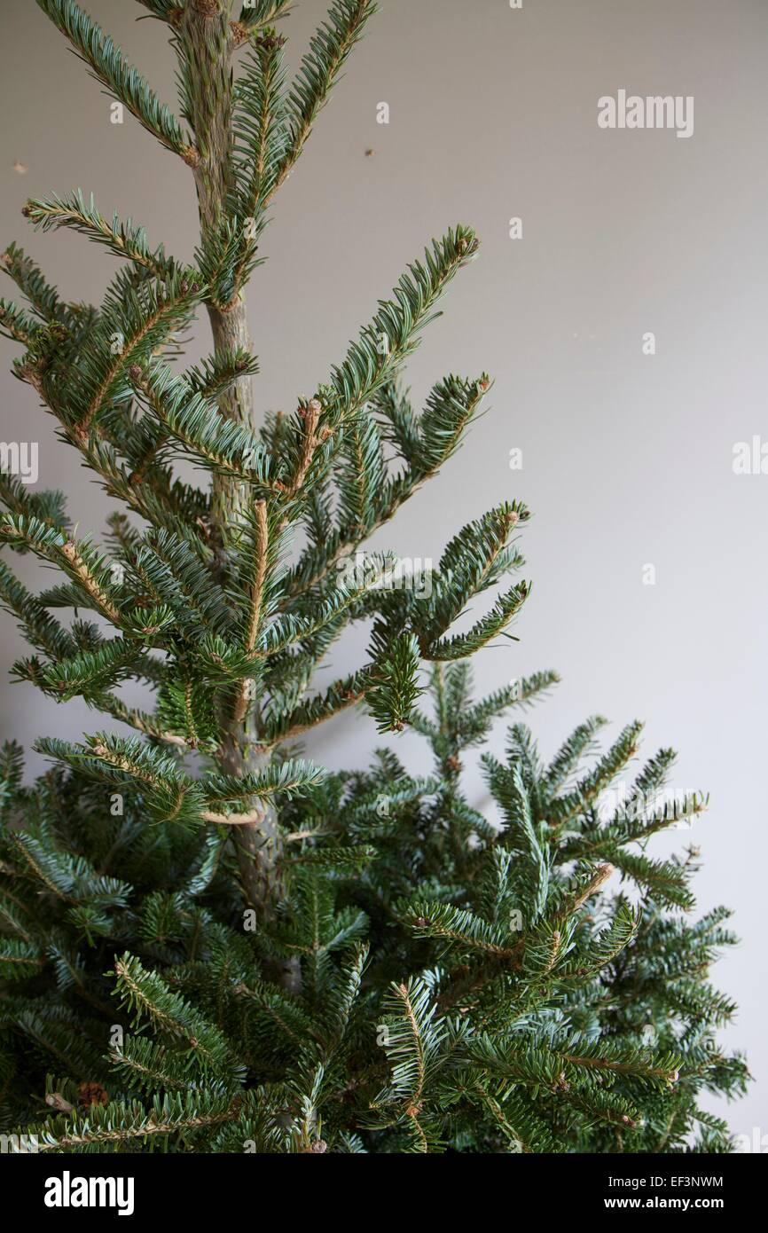 Nordmann Fir, Abies Nordmanniana. Branches of Christmas tree ...