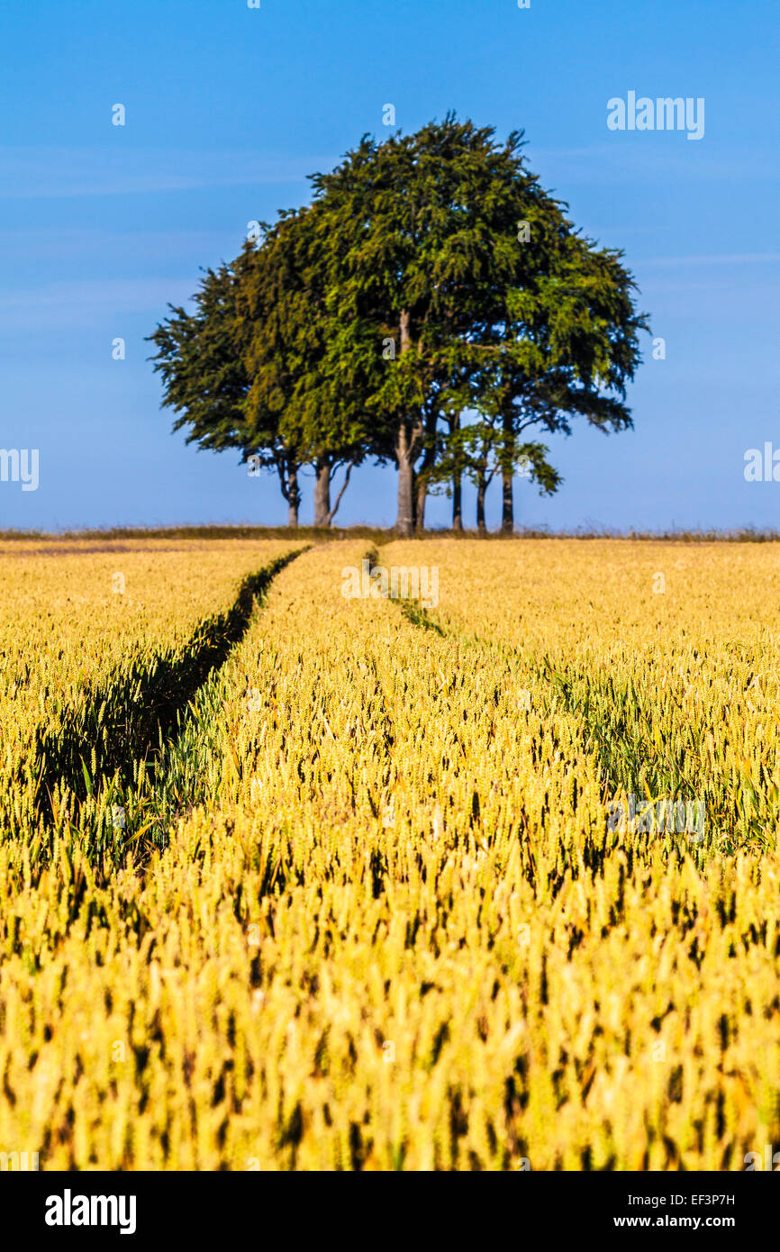 Tracks through a field of wheat illustrating deliberate use of shallow depth of field. - Stock Image