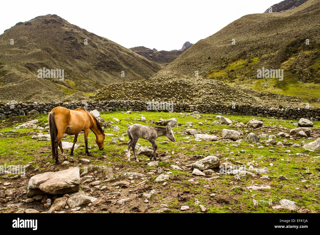 Horses in Sierra de la Culata National Park. Merida, Merida State, Venezuela. - Stock Image