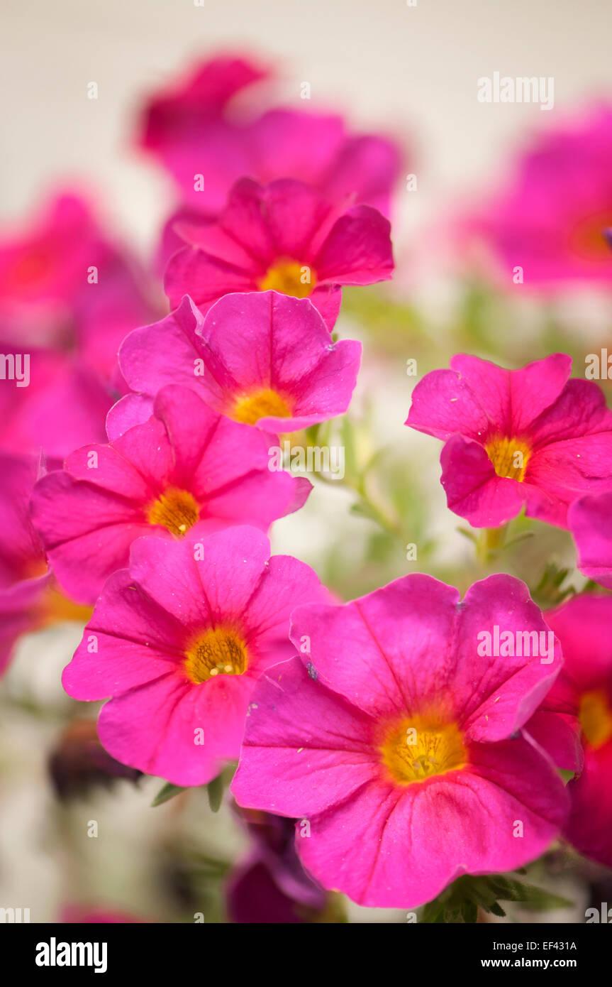 Petunia hybrid, Petunia hybrida, Petunia x atkinsiana. Summertime flowers - Stock Image