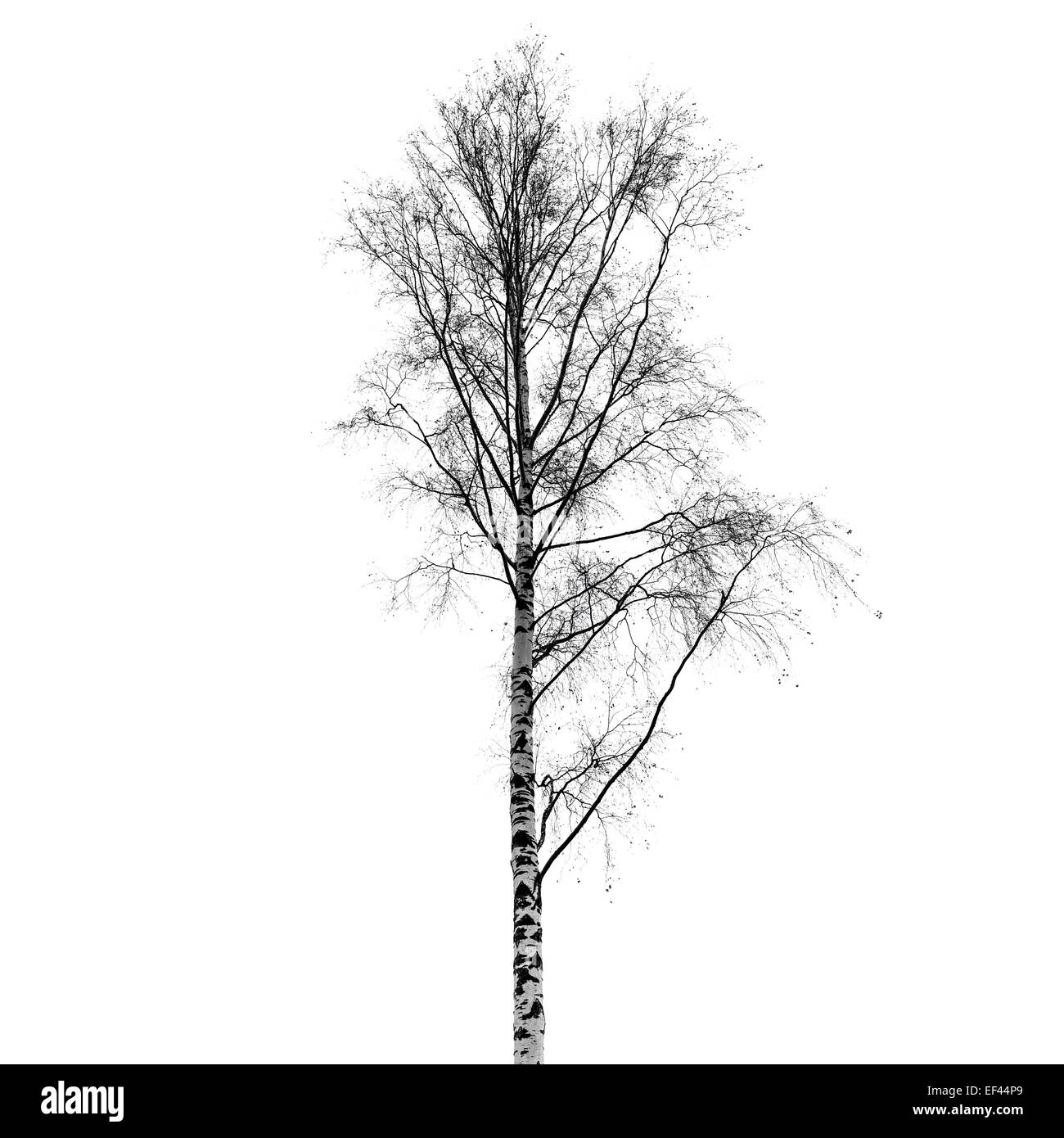 Leafless birch tree silhouette isolated on white background. Stylized photo - Stock Image