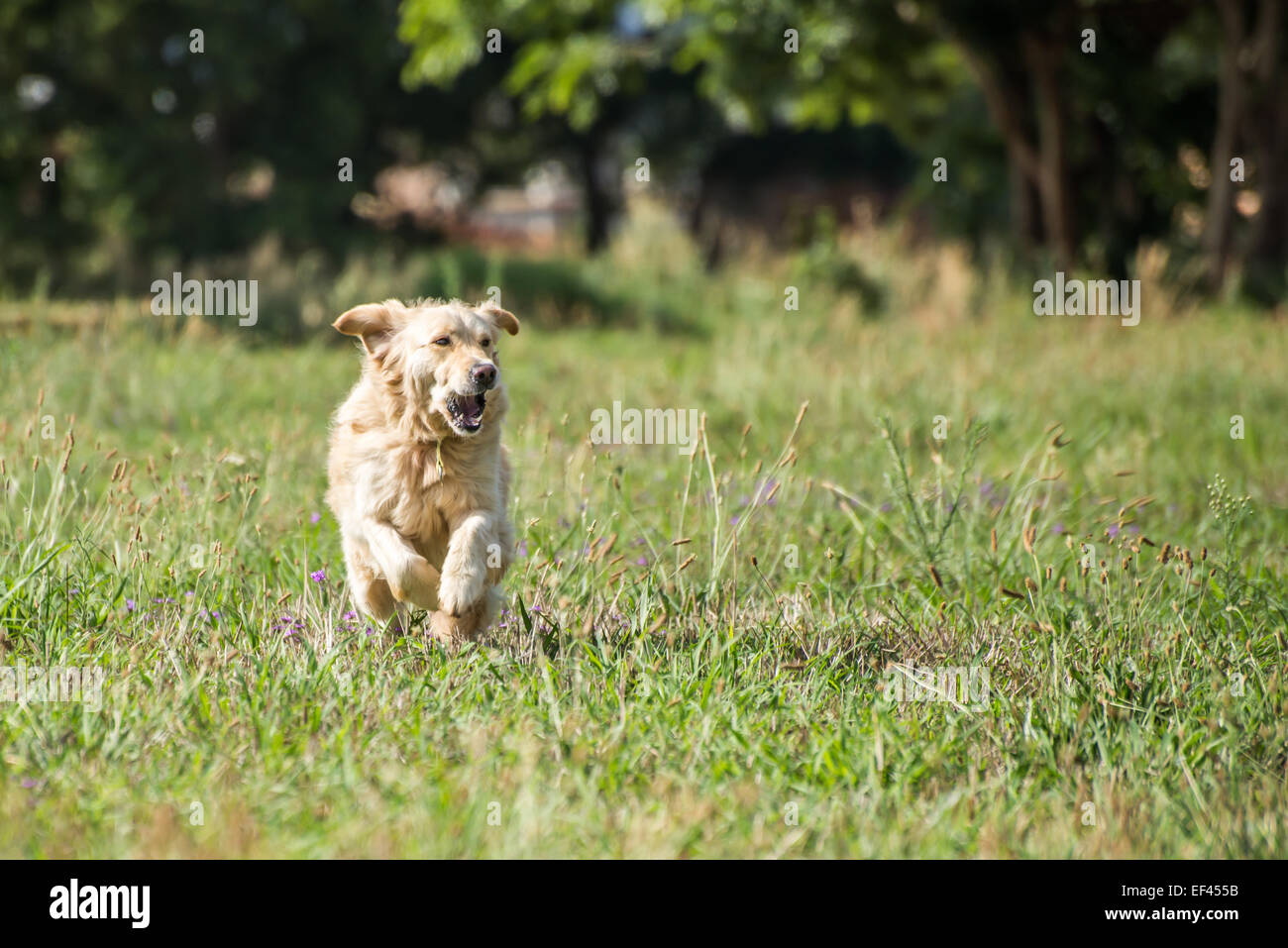 Golden Retriever at running through the fields at full speed, and enjoying herself. - Stock Image