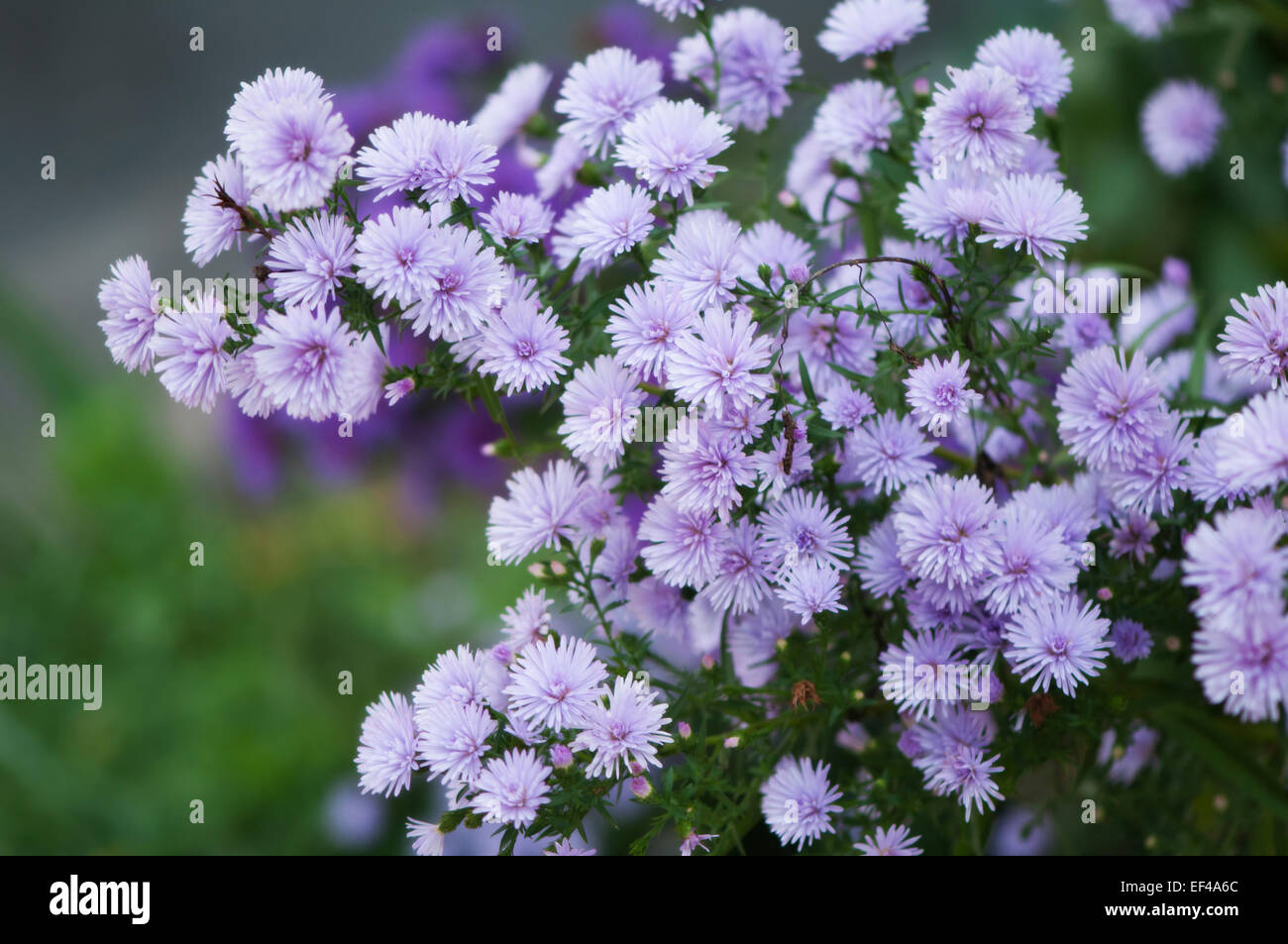 Perennial aster stock photos perennial aster stock images alamy growing plant of perennial aster flower in bloom in the fall stock image mightylinksfo