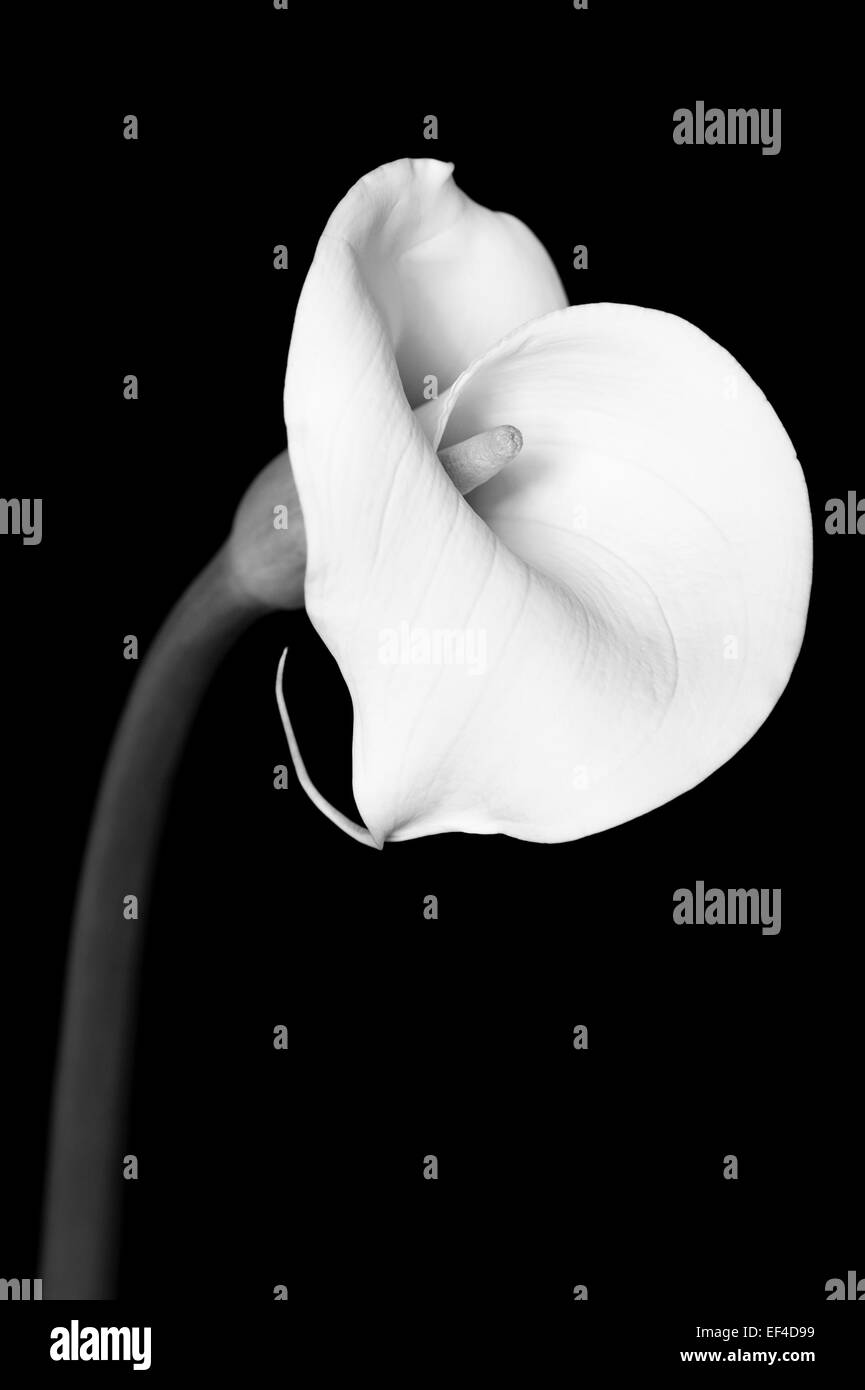A beautiful Calla Lily flower photographed in studio with a black background. - Stock Image