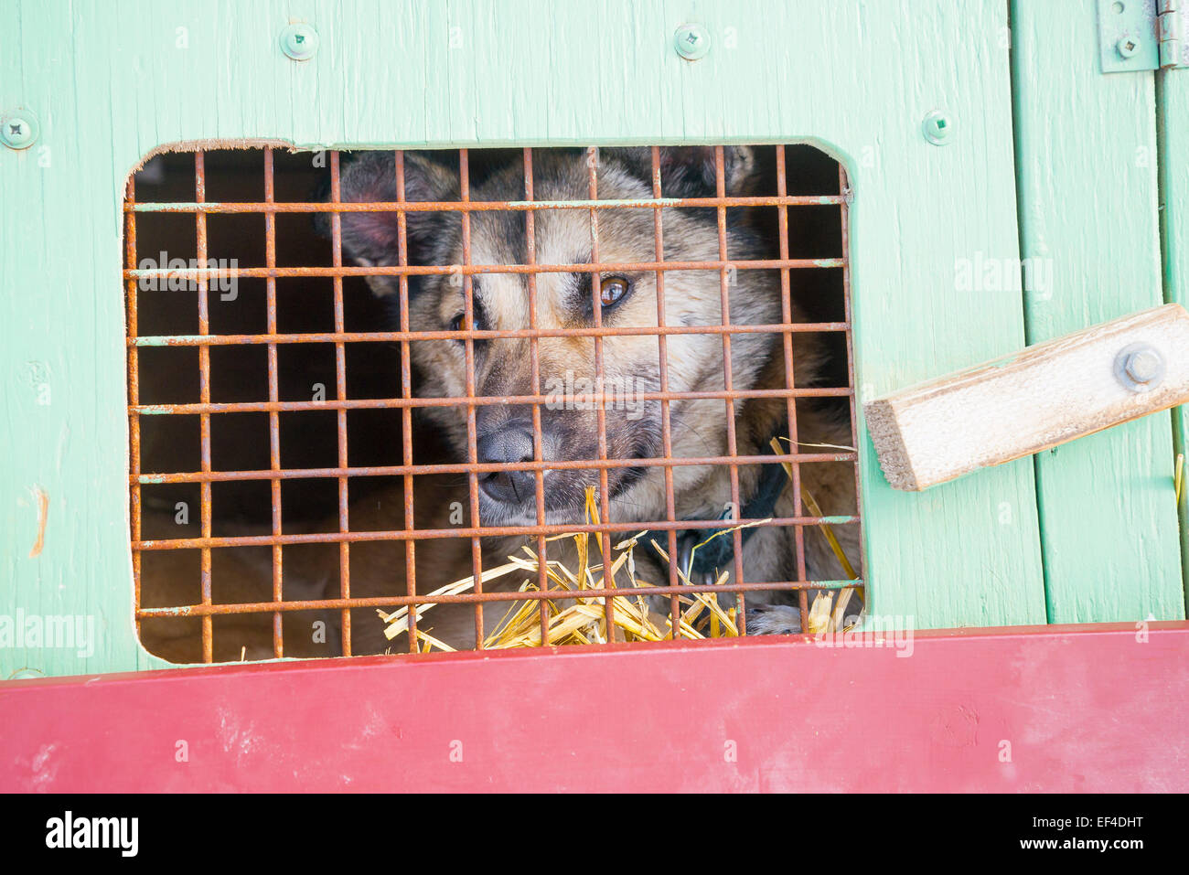 Sled dog in cage, Lake Louise, Banff National Park, Alberta, Canada - Stock Image