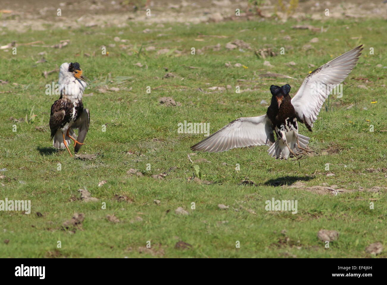 Two European Ruffs (Philomachus pugnax) in full display plumage  in their lek or mating arena during springtime - Stock Image