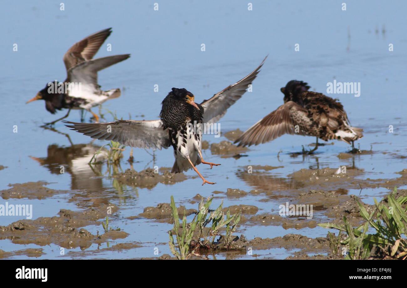 European Ruffs (Philomachus pugnax) in full breeding plumage  fighting in their lek mating arena during springtime - Stock Image
