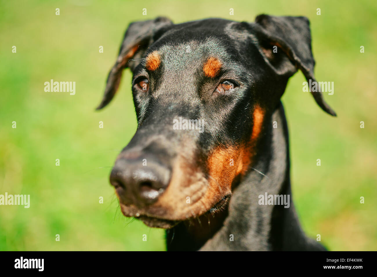 Close Up Young, Beautiful, Black And Tan Doberman Is A Breed Known For Being Intelligent, Alert, And Loyal Companion - Stock Image