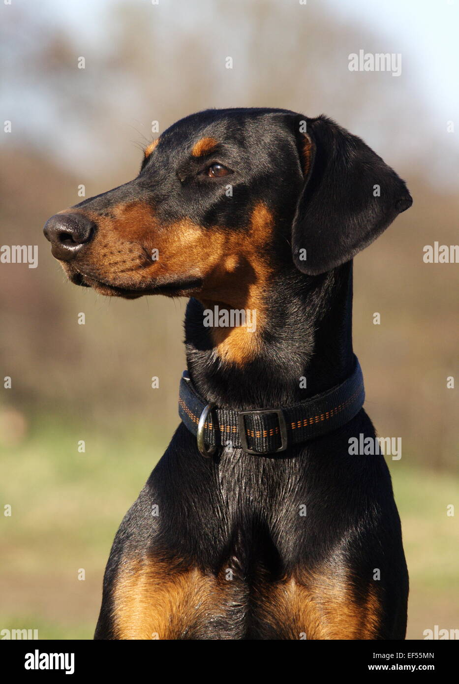 Dobermann Portrait 7 Monate - Stock Image