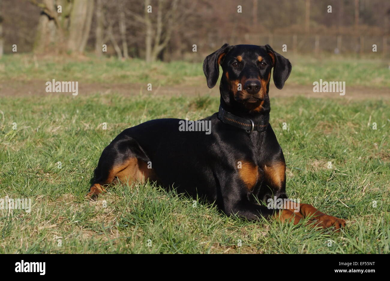 Dobermann 7 Monate - Stock Image