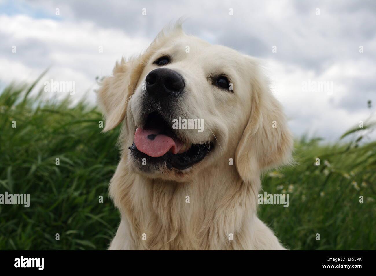 Golden Retriever Rüde 14 Monate Porträt vor einem gruenen Gerstenfeld mit wolkenverhangenem Himmel - Stock Image