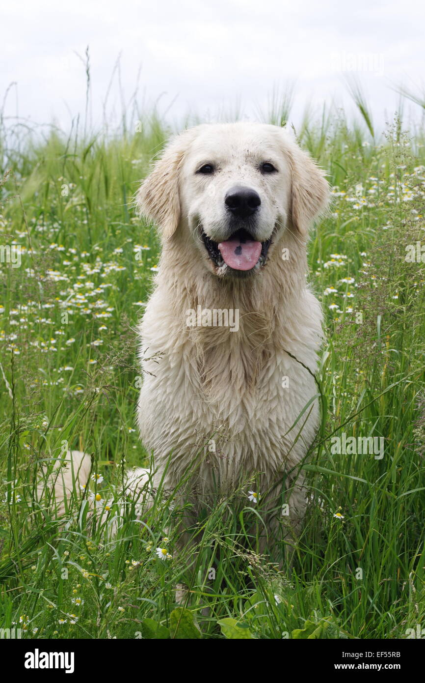Golden Retriever 14 Monate sitzt in einem bluehenden Kamillefeld, Stock Photo