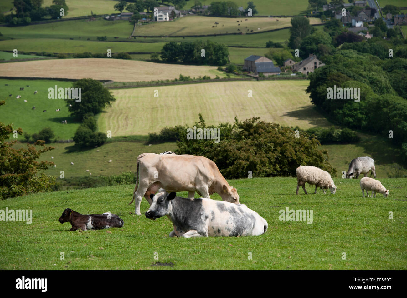 Sheep and beef cattle grazing together in uplnad pasture, Lancashire, UK. - Stock Image