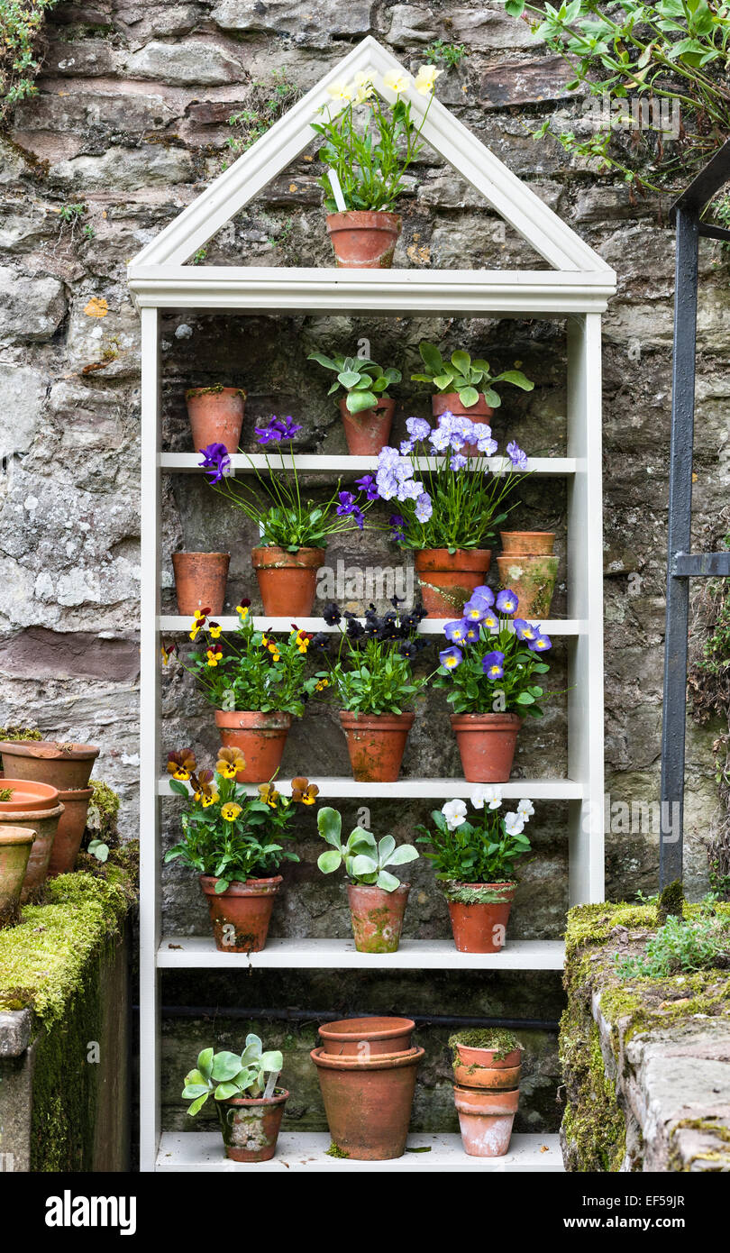 A display of pansy plants on shelves - Stock Image