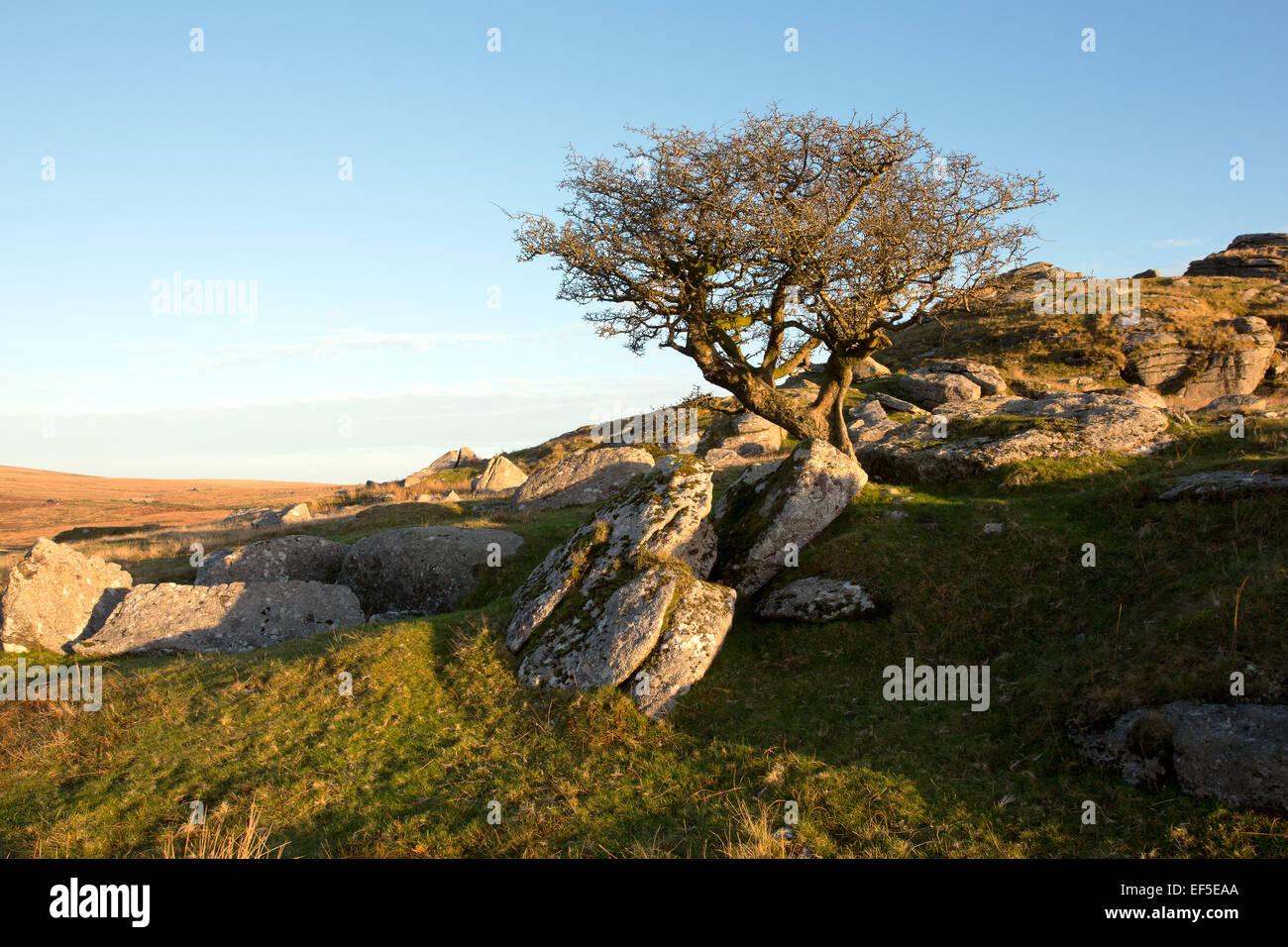 Hawthorn tree on Ingra Tor Dartmoor National Park Devon Uk - Stock Image