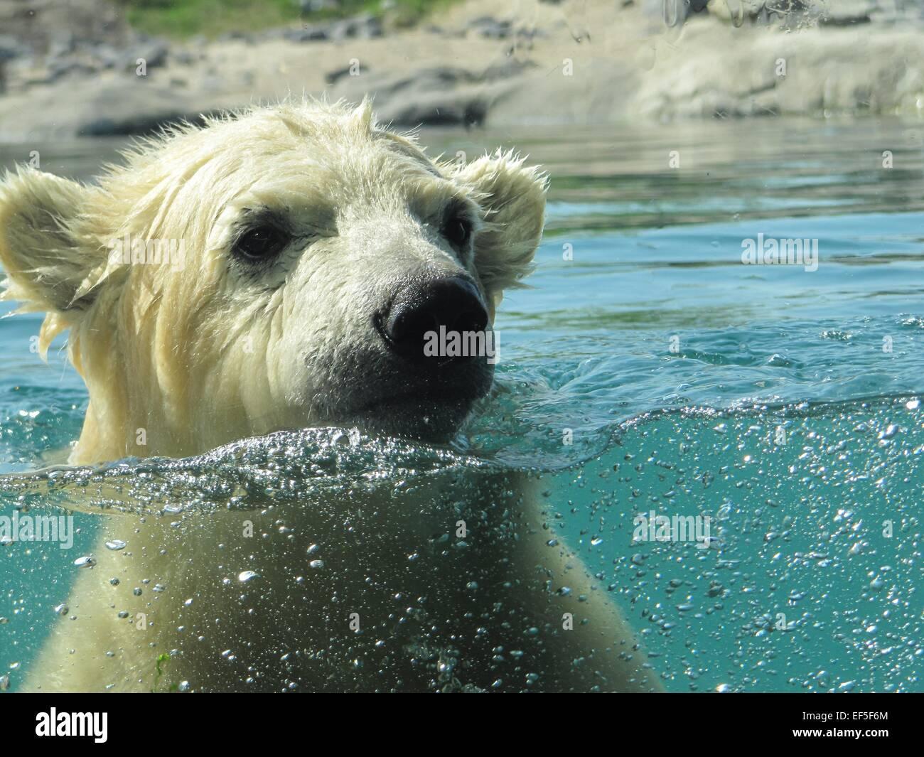 Polar Bear Swimming - Stock Image