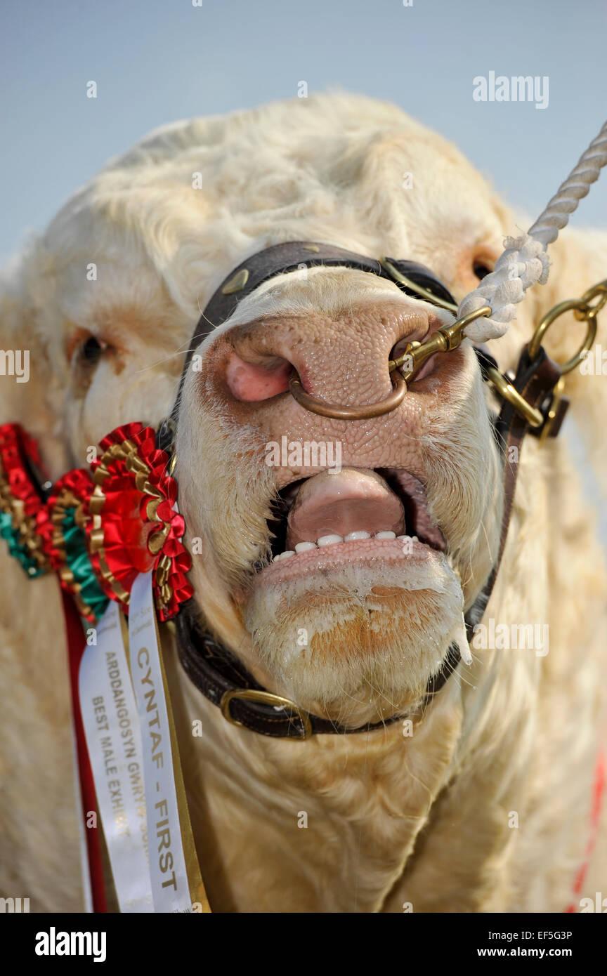 Prize winning Charolais bull licking its nose. UK. - Stock Image