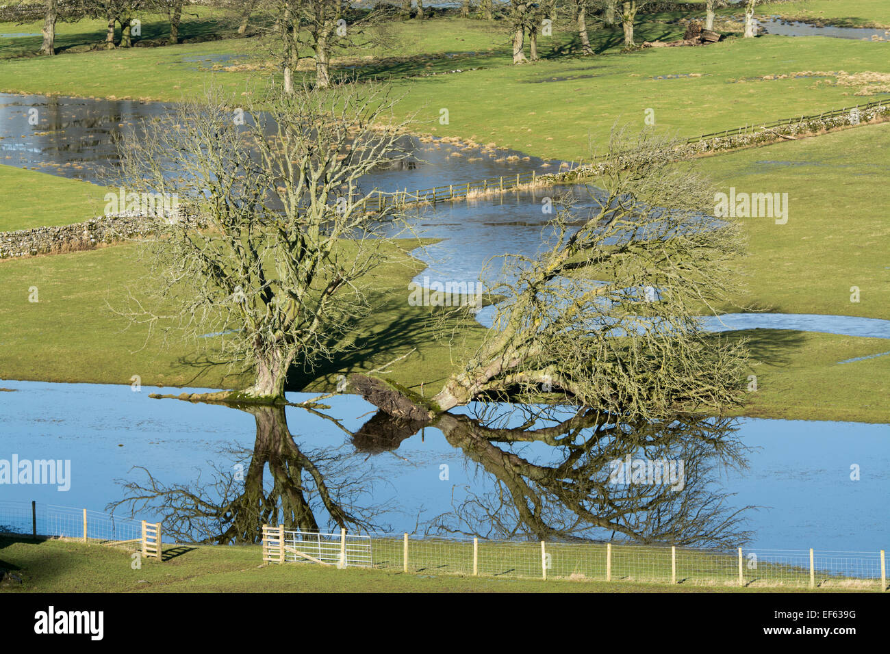 Trees in flooded fields, one fallen down. North Yorkshire, UK - Stock Image