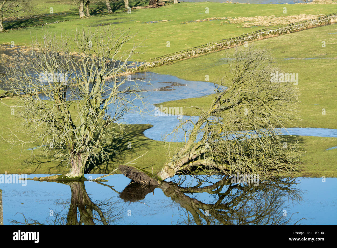 Trees in flooded fields, one fallen down. - Stock Image