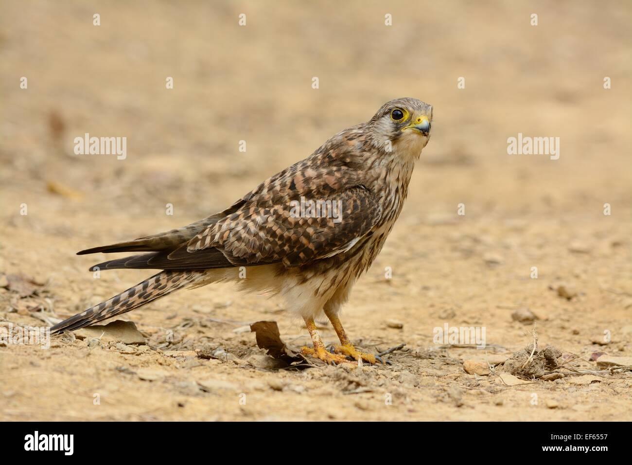 beautiful female Common Kestrel (Falco tinnunculus) standing on ground Stock Photo