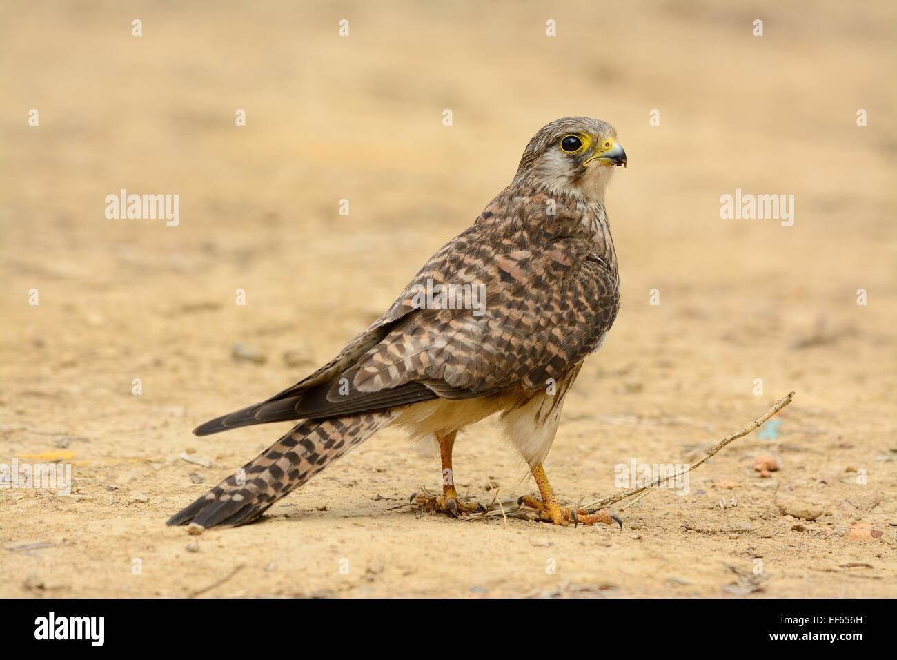 beautiful female Common Kestrel (Falco tinnunculus) standing on ground - Stock Image
