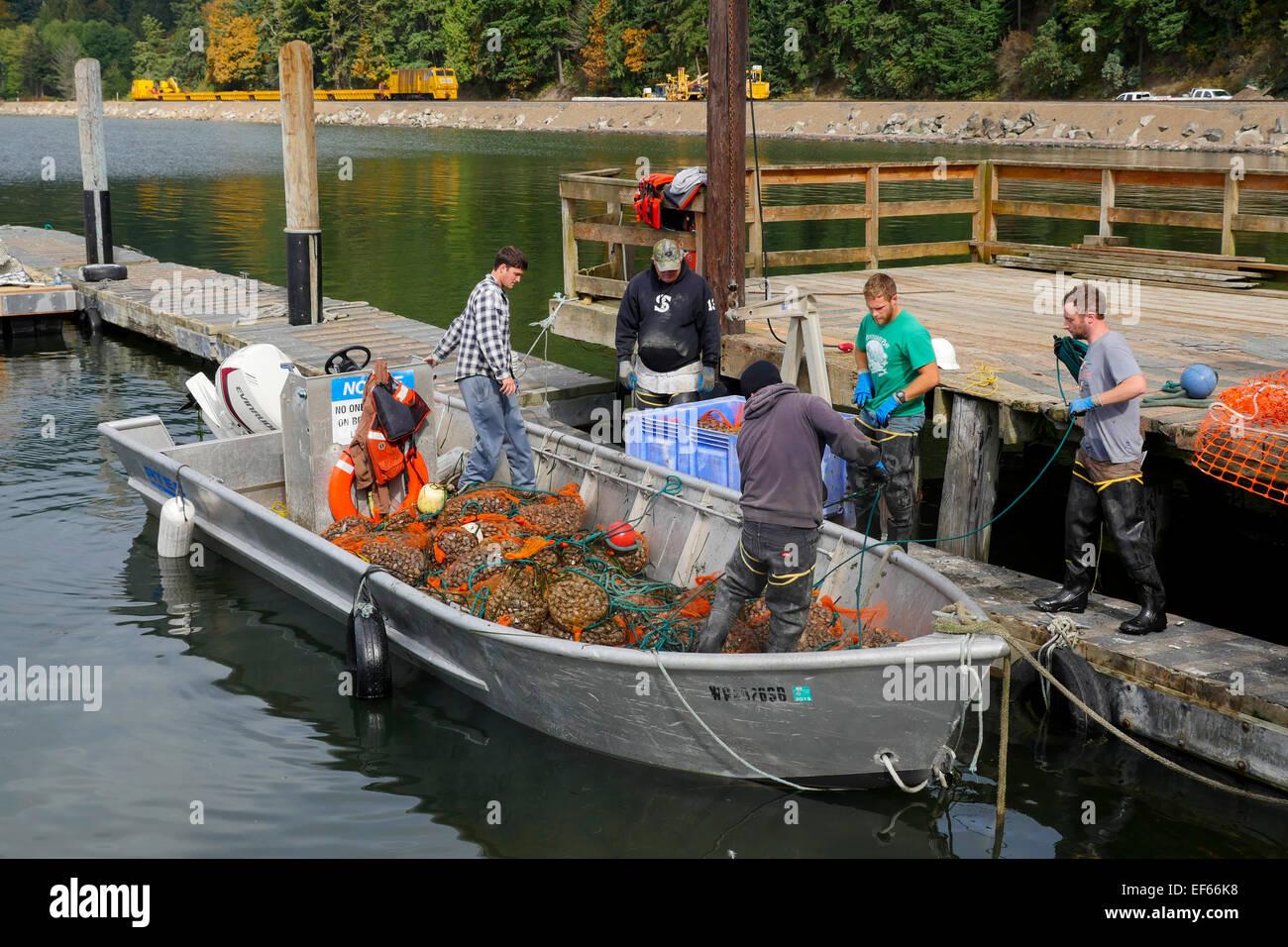 Clam, Taylor Shellfish Samish Farm Store, San Juan Islands, Puget Sound, Washington State Stock Photo