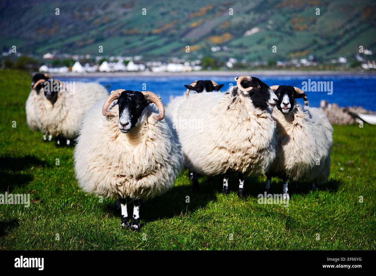 flock of black faced sheep in county antrim northern ireland - Stock Image