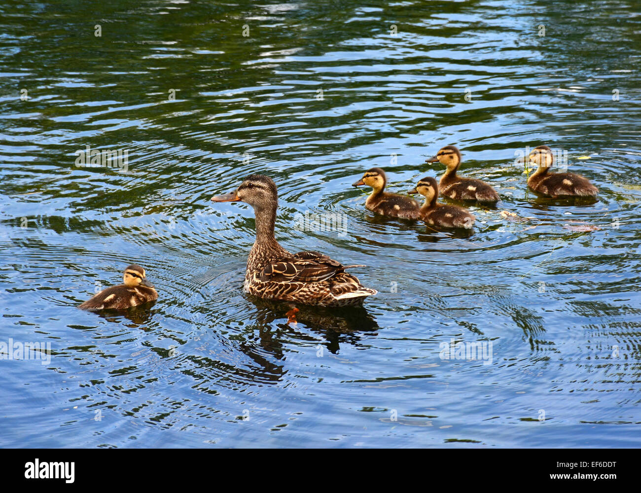 Mallard mother with chicks - Stock Image