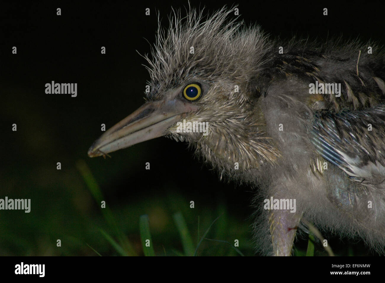 Black-crowned night heron (Nycticorax nycticorax), juvenile, spotted at Ancol Bird Park in Jakarta coastal area. Ancol Dreamland, Jakarta, Indonesia. Stock Photo