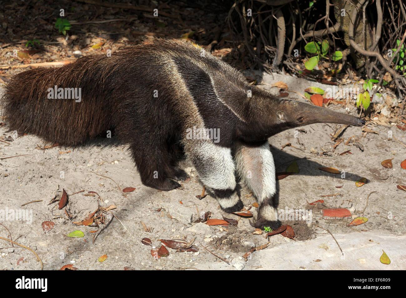 Giant anteater, Myrmecophaga tridactyla - Stock Image