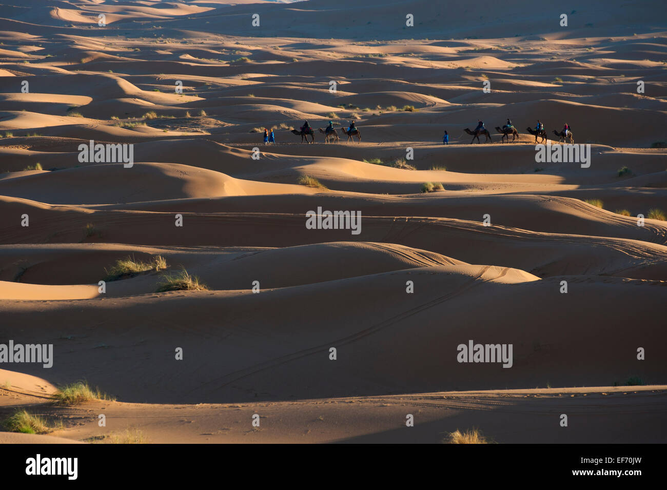 Tourists riding camels across sand dunes to a desert camp, Merzouga, Morocco - Stock Image
