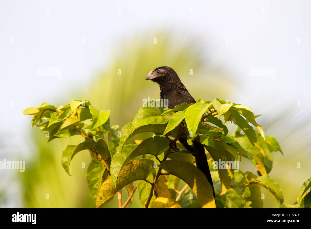 Groove-billed Ani (Crotophaga sulcirostris) perched in the top of a tree. - Stock Image