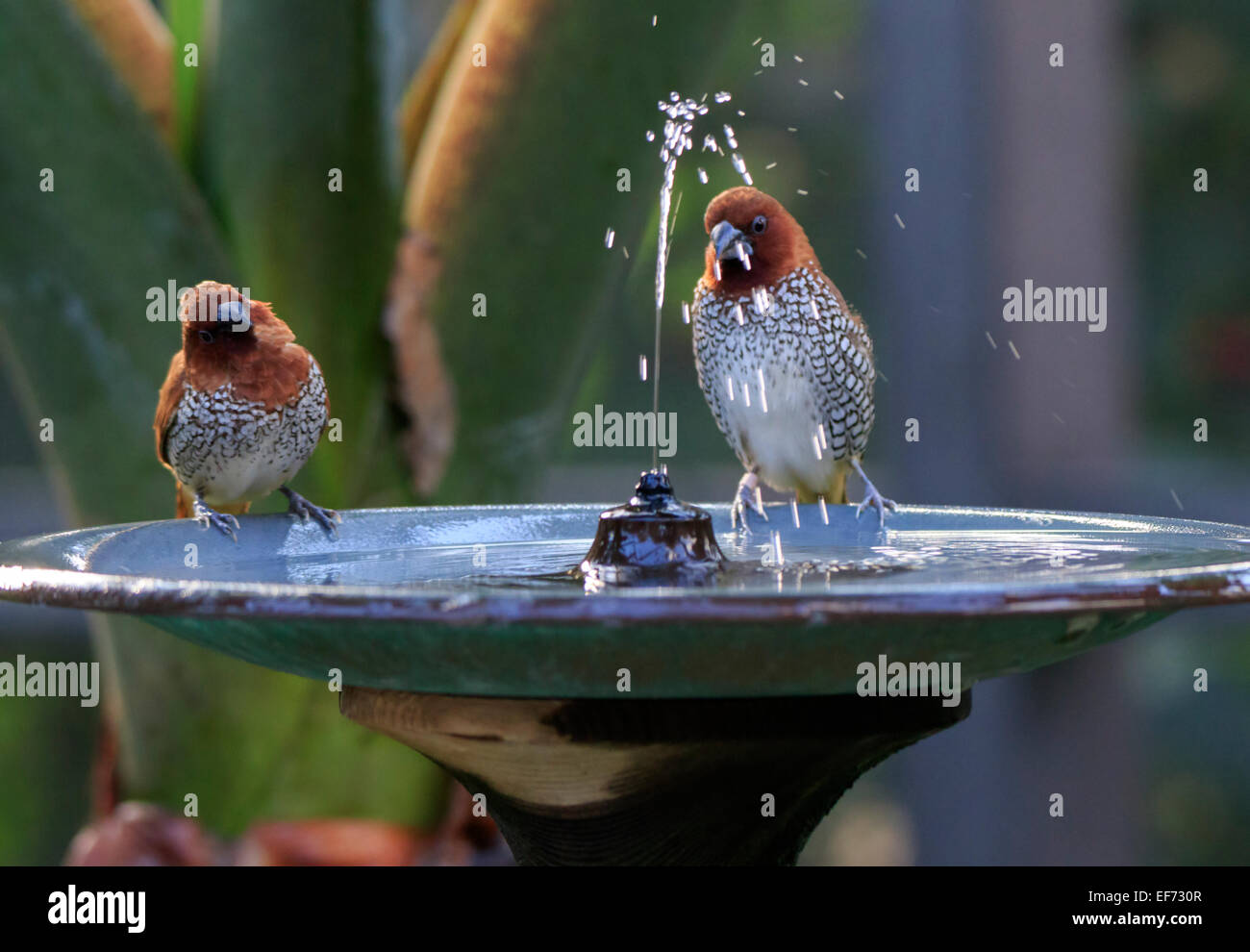 Scaly-breasted Munia, Lonchura punctulata enjoying the water in a birdbath fountain - Stock Image
