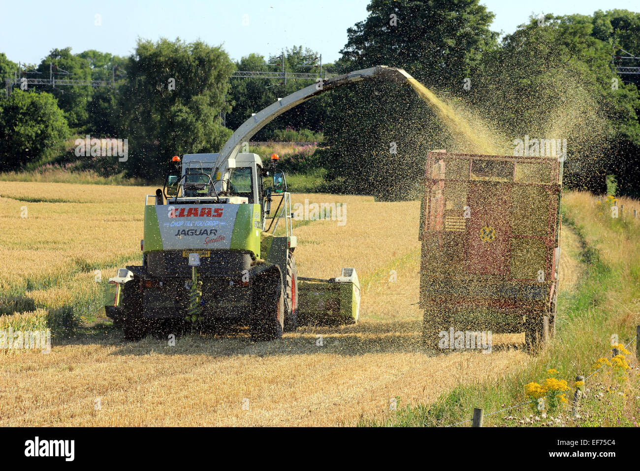 Harvesting of a wheat crop alongside the Middlewich branch of the Shropshire Union canal on August 1st 2013. - Stock Image