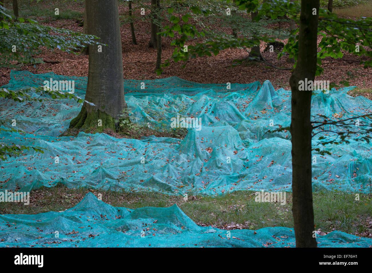 Beech, forest management, Beechnuts, Saatgut, Buchenwald, Bucheckern, Forstwirtschaft, Waldwirtschaft, Fagus sylvatica, Stock Photo