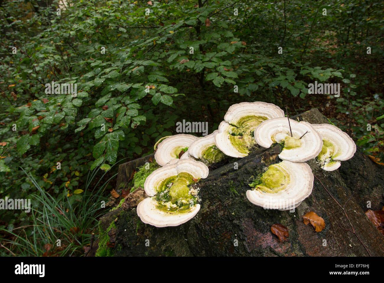 Lumpy bracket, deadwood, dead wood, Buckel-Tramete, Buckeltramete, Tramete, auf Baumstubben, Totholz, Trametes gibbosa, - Stock Image