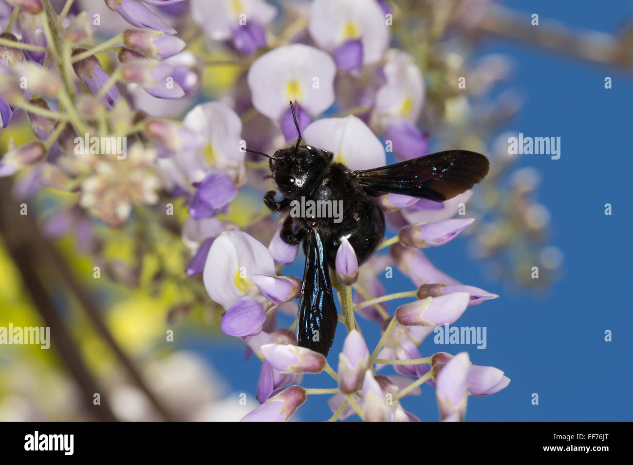 Violet carpenter bee, Indian Bhanvra, Blaue Holzbiene, Blauschwarze Holzbiene, Große Holzbiene, Blütenbesuch, - Stock Image