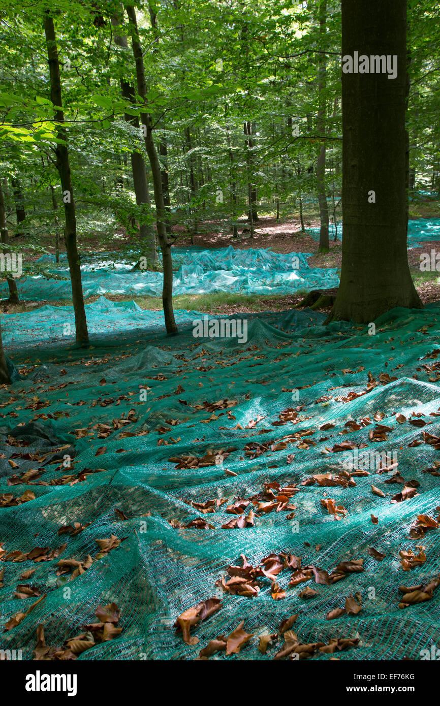 Beech, forest management, Beechnuts, Saatgut, Buchenwald, Bucheckern, Forstwirtschaft, Waldwirtschaft, Fagus sylvatica, Rotbuche Stock Photo