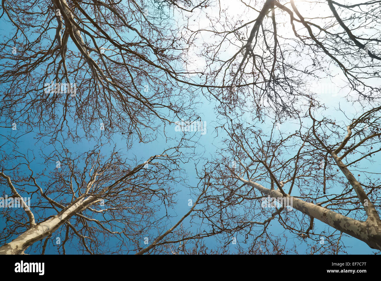 Spring treetops with blue sky and clouds Stock Photo