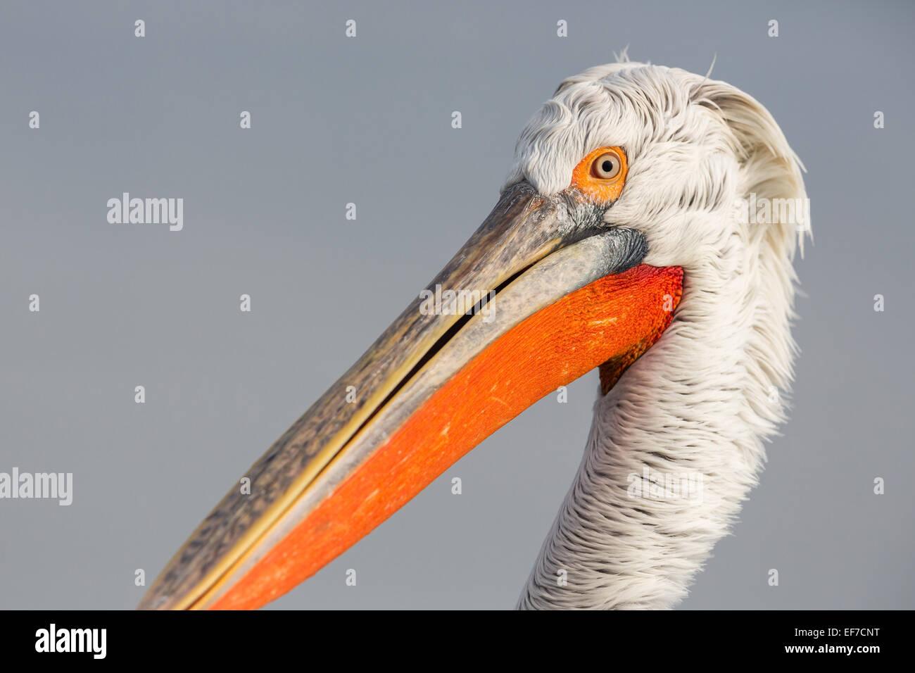 Close up portrait of a Dalmatian Pelican (Pelecanus crispus) on Lake Kerkini in Northern Greece Stock Photo