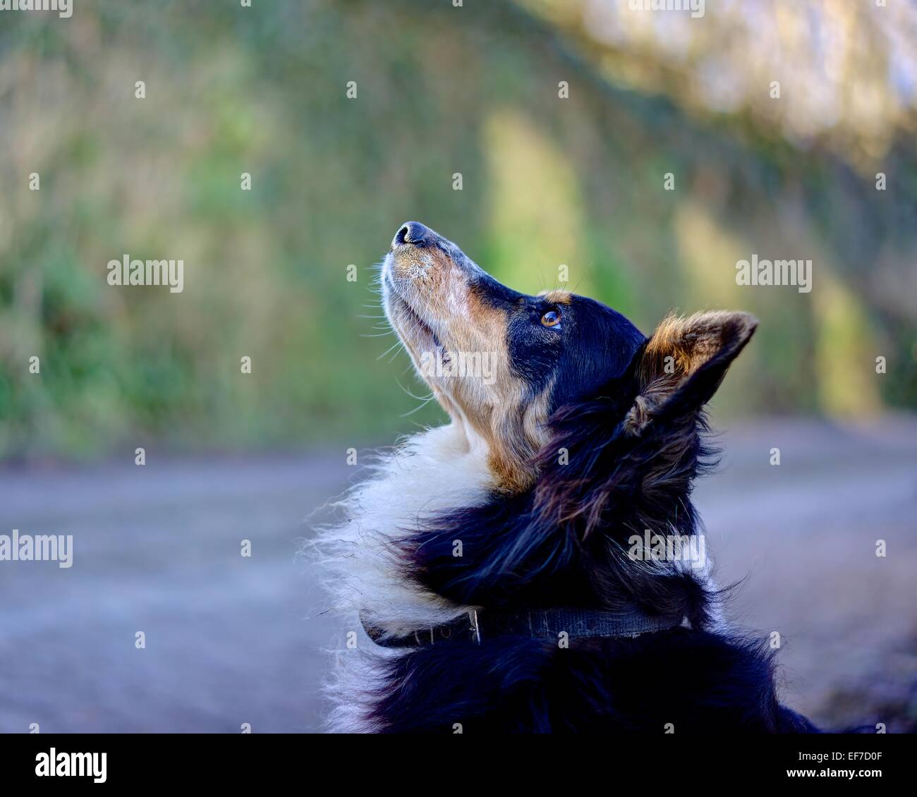 A Collie Cross Dog obeying attentively her master to sit still against a blurred background of the country lane - Stock Image