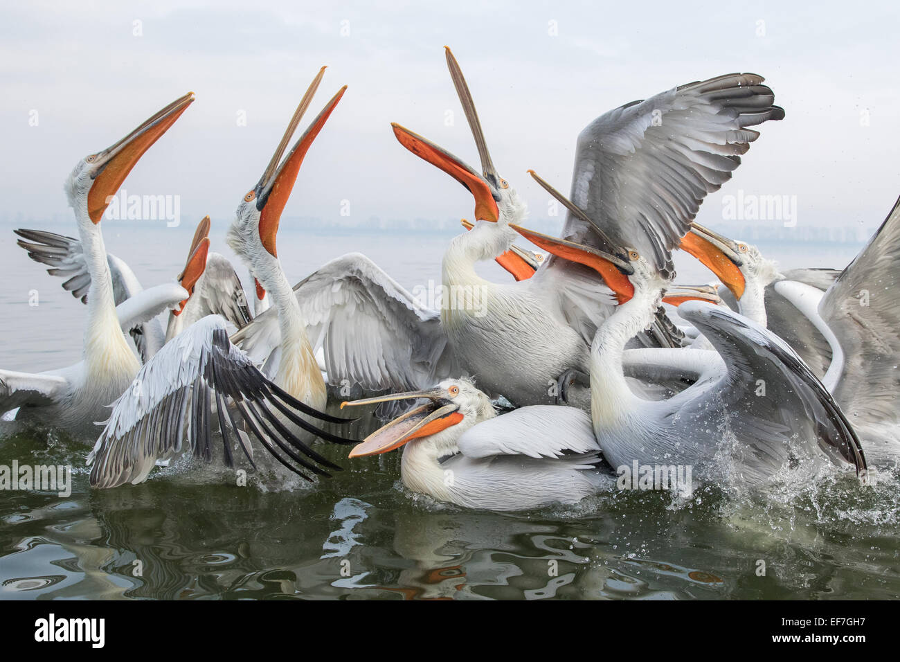 Dalmatian Pelicans (Pelecanus crispus) leap out of the water to catch fish on Lake Kerkini in Northern Greece Stock Photo