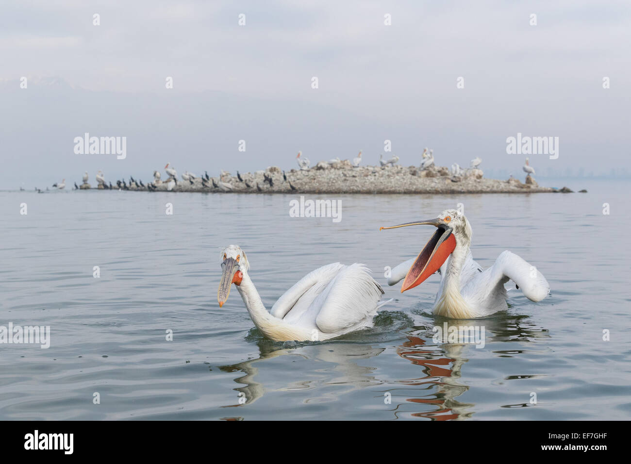 Two Dalmatian Pelicans (Pelecanus crispus) on Lake Kerkini in Northern Greece, one is gesturning to the other with - Stock Image