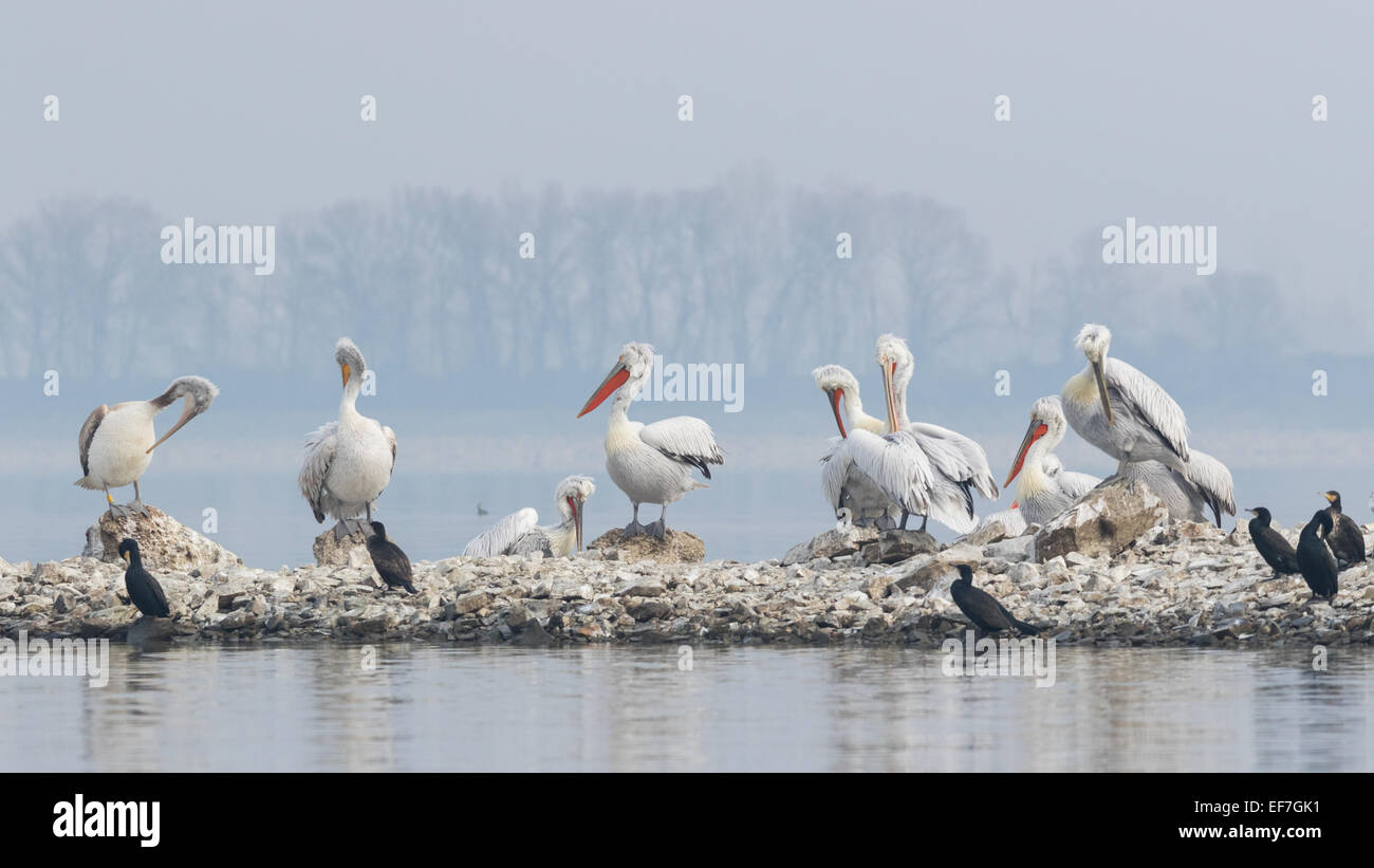 Dalmatian Pelicans (Pelecanus crispus) and Cormorants (Phalacrocorax carbo) perch up on a small island onl Lake - Stock Image