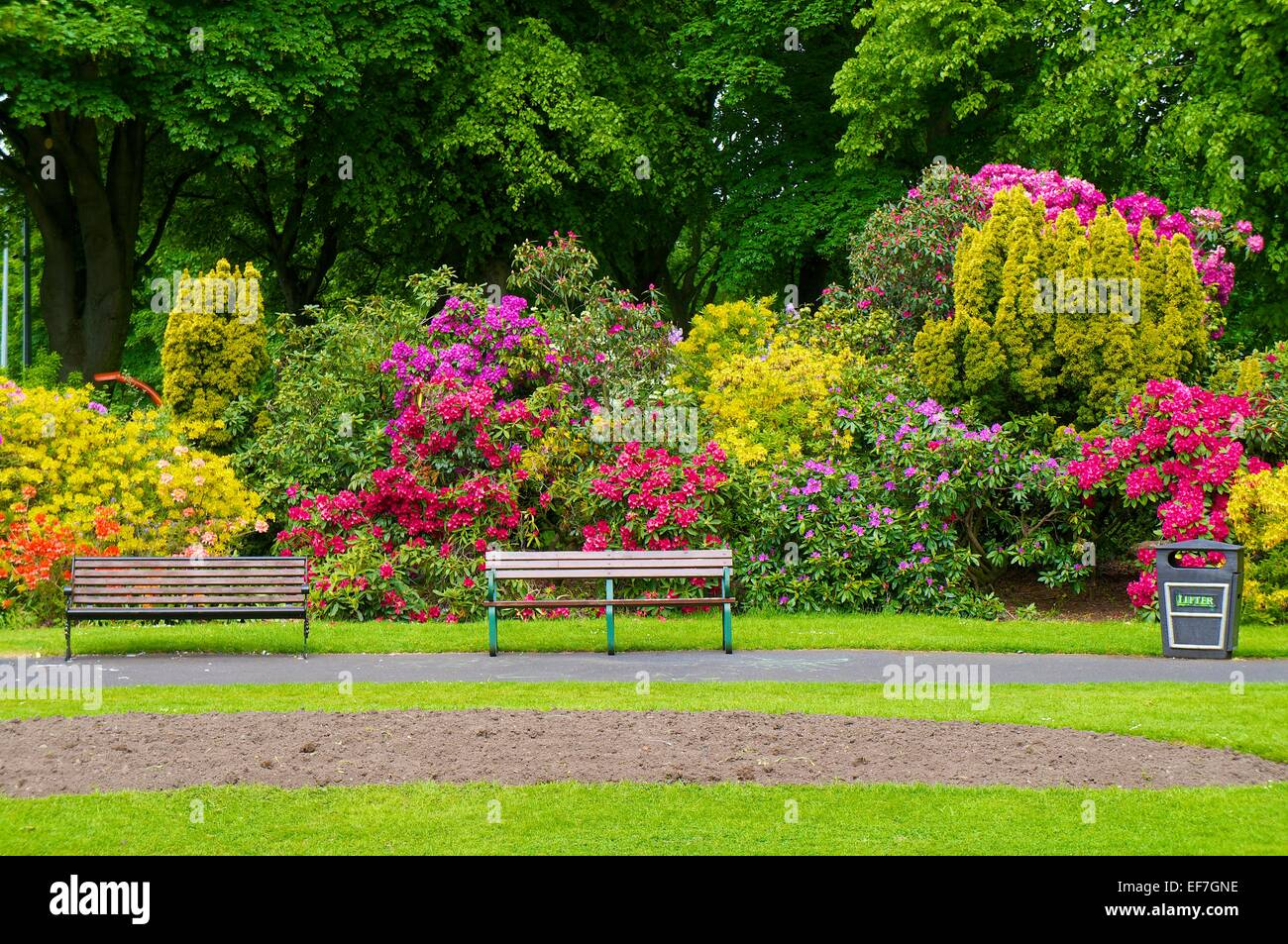 Rhododendron bushes flowering behind park benches. Bitts Park, Carlisle Cumbria, England, UK. - Stock Image