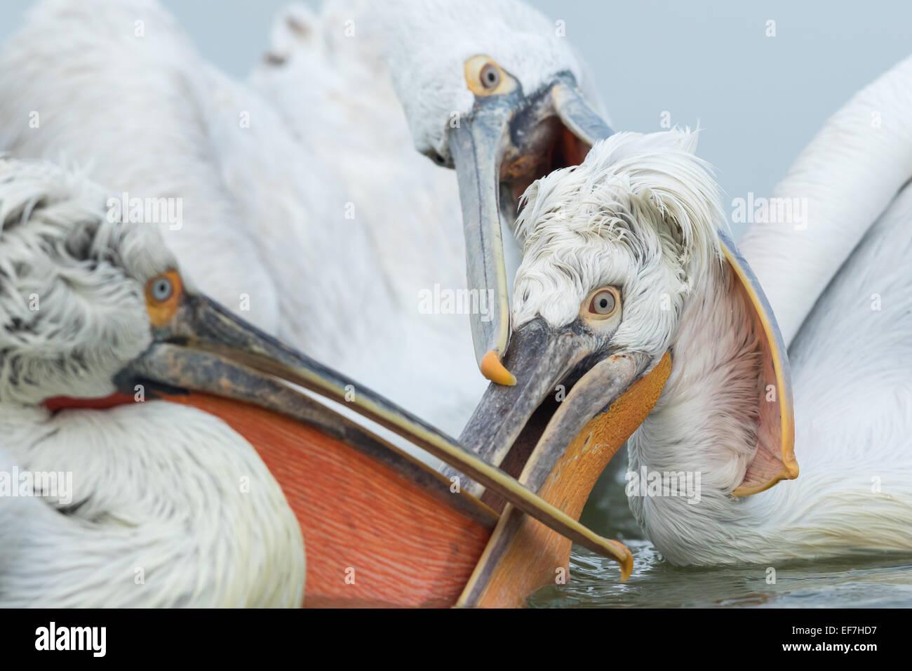 Three Dalmatian Pelicans (Pelecanus crispus) battle for a fish on Lake Kerkini in Northern Greece - Stock Image