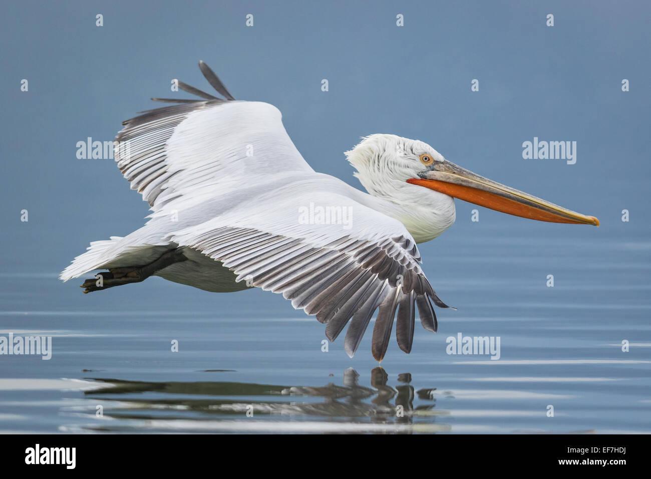 Dalmatian Pelican (Pelecanus crispus) flies across a near still Lake Kerkini in Northern Greece - Stock Image