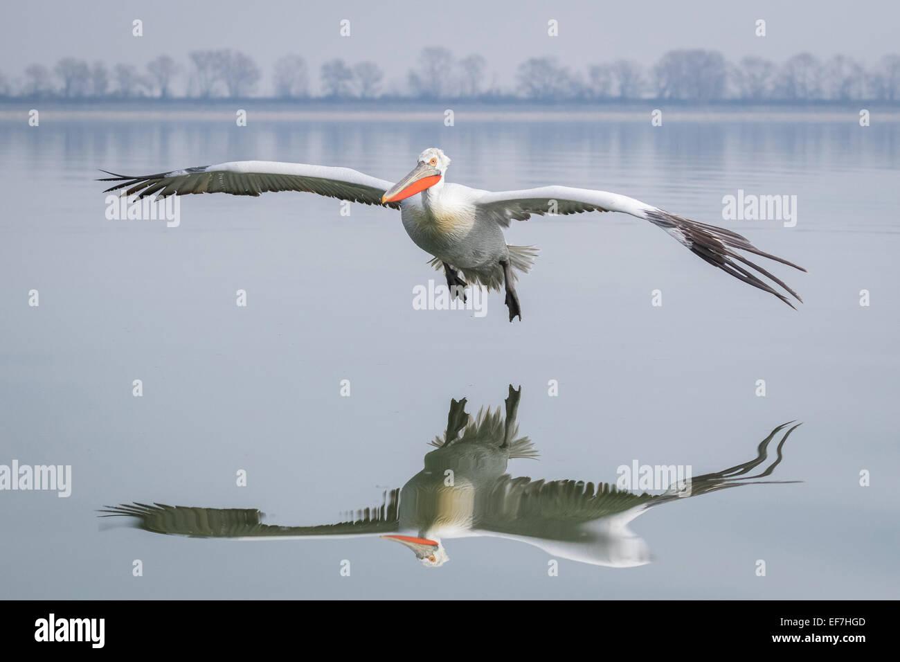 Dalmatian Pelican (Pelecanus crispus) comes into land on a very still Lake Kerkini in Northern Greece, its reflection - Stock Image